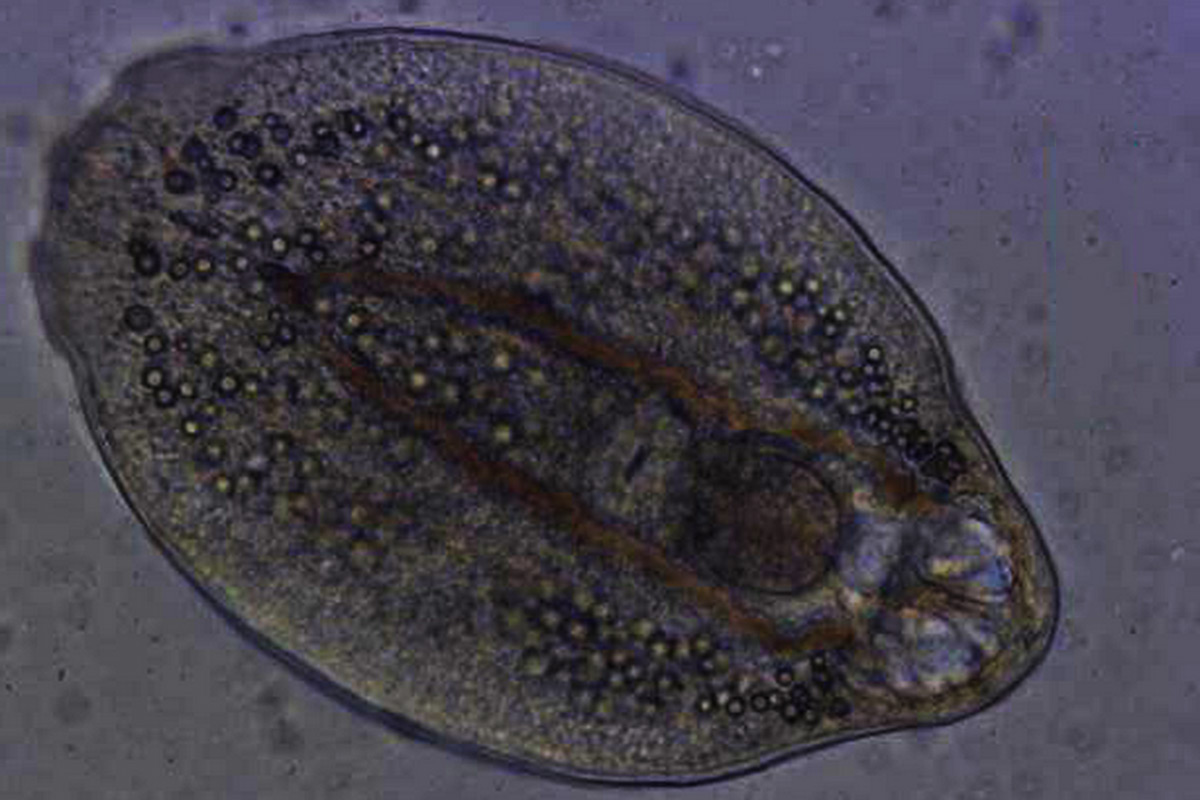 fig.-3_metacercariae_ns.jpg