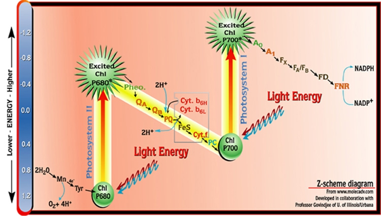 an analysis of the main stages of photosynthesis in organic energy conversion The main photosynthesis product is glucose which may be either used by the photosynthesis cells for liberation of energy, or it may be polymerized into starch and in photosynthesis, water molecule is split in the presence of sunlight and chlorophyll this reaction takes place in the leaves of the plant.